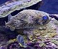 Puffer fish (4387356228).jpg