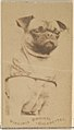 Pug, from the Dogs series (N47) for Virginia Brights Cigarettes MET DP831746.jpg