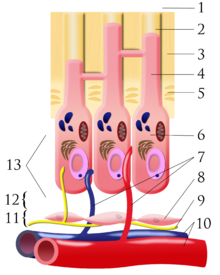 Pulpal dentin junction. 1) outside tooth/enamel 2) dentin tubule 3) dentin 4) odontoblastic process 5) predentin 6) odontoblast 7) capillaries 8) fibroblasts 9) nerve 10) artery/vein 11) cell-rich zone 12) cell-poor zone 13) pulp chamber