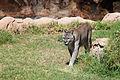 Puma concolor stanleyana - Texas Park - Lanzarote -PC09.jpg