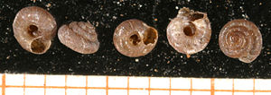 Pyramidula rupestris - Five shells of Pyramidula rupestris, scale bar in mm