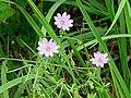 Pyrenäen-Storchschnabel Geranium pyrenaicum Zwiesel.jpg
