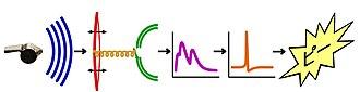 Rappresentazione schematica del quale di un fischio: dalla fonte al quale. (A sinistra: la fonte. In blu: le onde sonore. In rosso: il timpano. In giallo: la coclea. In verde: le cellule audio-recettrici. In viola: la frequenza dello spettro del suono. In arancione: l'impulso nervoso. A destra: il quale del fischio.)