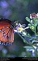 Queen Butterfly (Nymphalidae, Danaus gilippus) (31129375561).jpg