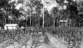 Queensland State Archives 4249 Tobacco farm at Beerburrum 1933.png