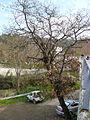 Quercus cerrioides hivern.jpg