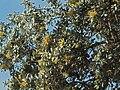 Quercus ilex ballota 20091019 5.jpg