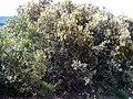 Quercus ilex subsp. ballota Habitus 04April2009 DehesaBoyalPuertollano.jpg