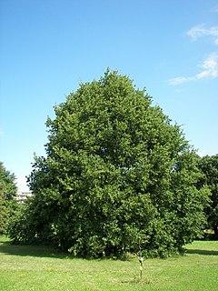 Anexo:Especies de Quercus - Wikipedia, la enciclopedia libre