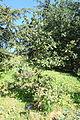 Quercus pyrenaica - Jardín Botánico de Barcelona - Barcelona, Spain - DSC09188.JPG