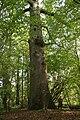 Quercus robur - La Hulpe (1).JPG