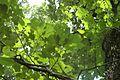 Quercus velutina (23531403924).jpg