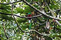 Quetzal Reserve cloud forest-an elusive male in the trees (6849873960).jpg