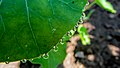 Rain Drops on Leaves (22147107412).jpg