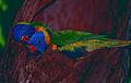 Rainbow Lorikeets (Trichoglossus moluccanus) (9757649924).jpg