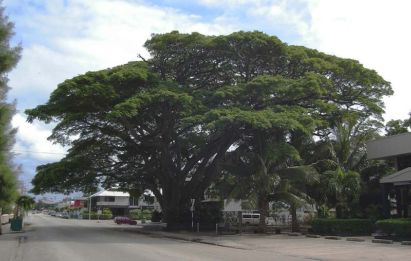 File:Raintree Nukuʻalofa.jpg