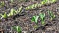 Raised Redwood Gardenbeds 05.jpg