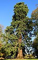 Rambures (Somme), parc du château, séquoia géant 01.jpg