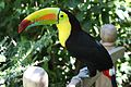 Ramphastos sulfuratus -Panama-8.jpg