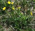 Ranunculus carinthiacus 1.jpg