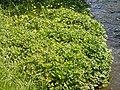 Ranunculus repens (5435116624).jpg