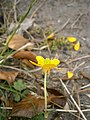 Ranunculus sardous RHu 02.JPG