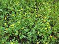 Ranunculus undosus habit12 NWP - Flickr - Macleay Grass Man.jpg