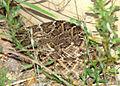 Rattlesnake 515 (3890517413).jpg