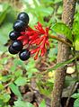 Rauwolfia serpentina (3) - സര്പ്പഗന്ധി.jpg