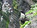 Razorbill on Skellig Michael - geograph.org.uk - 886039.jpg