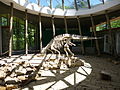 Reconstructed dino skeleton in Sataplia Museum, Georgia.jpg