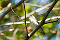 Red-eyed Vireo (7235501460).jpg