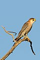 Red-necked falcon, Falco chicquera, at Kgalagadi Transfrontier Park, Northern Cape, South Africa. (33672070294) (cropped).jpg