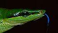 Red-tailed Green Rat Snake (Gonyosoma oxycephalum) (8678558950).jpg
