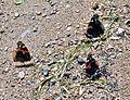 Red Admirals (Vanessa atalanta) (7428346192).jpg