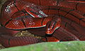 Red Bamboo Rat Snakes (Oreocryptophis porphyraceus) (8735154309).jpg