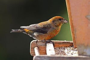 Red Crossbill - male (7246625328).jpg