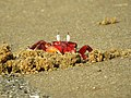 Red Ghost Crabs IMG 7467.jpg