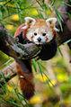 Red Panda (24329058161).jpg