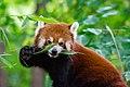 Red Panda (37452505046).jpg