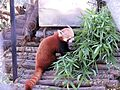 Red Panda in zoo.jpg