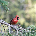 Red cardinal (14234070724).jpg