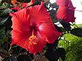 Red hibiscus cultivar.jpg