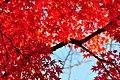Red leaves in Shinjuku (3088554089).jpg