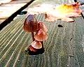 Red mushroom.jpg