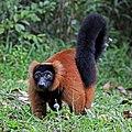 Red ruffed lemur (Varecia rubra).jpg