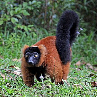 Red ruffed lemur Species of mammal native to Madagascar