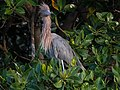 Reddish Egret (41273549514).jpg