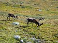 Reindeers in Abisko.jpg