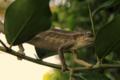 Retreating Chameleon.png
